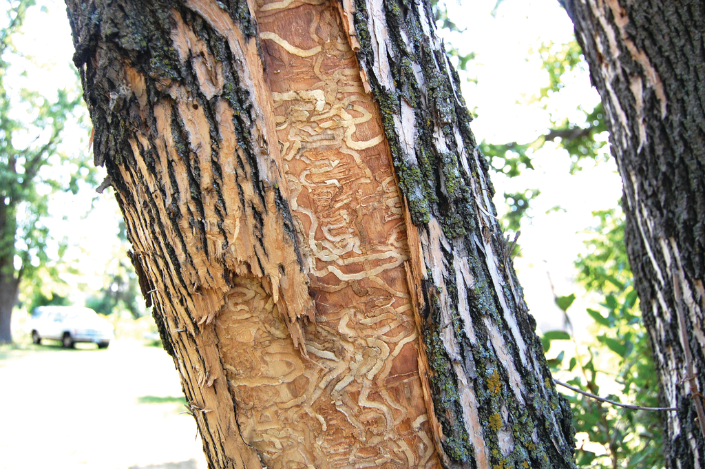 Infested Tree